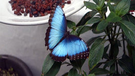 Blue Butterfly Exhibited at former Aztec Retreat