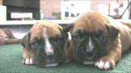 Boxer Puppies Start To Walk -in HD