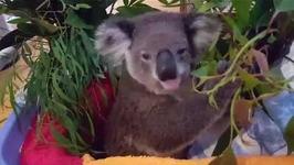 Koala Enjoys a Feed Despite Broken Leg from Car Accident