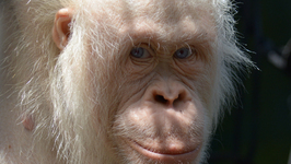 Alba the Albino Orangutan Is One Step Closer to Her New Island Home