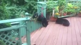 Man Discovers Hungry Bears Feeding in His Back Garden