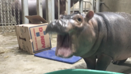 Playtime Helps Cincinnati Zoo's Baby Hippo Build Muscle