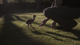 Emu Chick Tries Hard to Keep Up With Human Friends