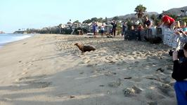 California Sea Lions Share Kiss During Release Back Into Ocean