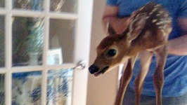 Fawn Slippy - Cute Baby Deer Skids And Slides Through Family Home