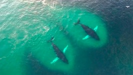 Humpback Whales Feeding Frenzy Captured By Drones