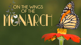 On the Wings of the Monarch