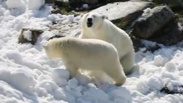 Polar Bears Have Winter Fun in the Sun Thanks to Super Cool Gift: Snow