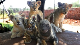 Baby Animals - Baby Lion, Baby Tiger And Baby Hyena Cub Animal Cuteness