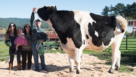 The Worlds Tallest Cow
