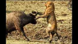 Lion Tribe vs. Buffalo