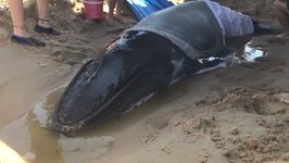 Rescuers Work to Help Beached Baby Whale Back to Sea