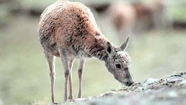 S01 E03 - The Race for Survival of the Tibetan Antelope - Migrations in Danger