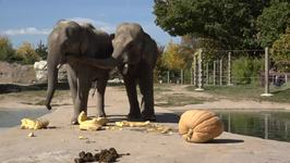 Denver Zoo Elephants Enjoy Pumpkin Smashing