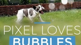 French Bulldog Jumps With Joy for Bubbles in Garden