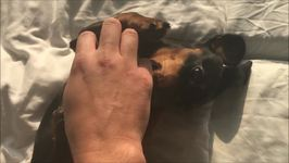 Young Dachshund Can't Get Enough of Belly Rubs