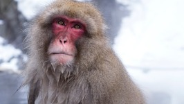 Adorable Snow Monkeys Bathe in Hot Springs
