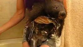 Clipper the Adorable Wombat's Super Fun Bath Time