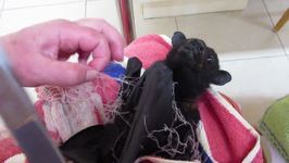 Harry the Bat is Rescued From Netting