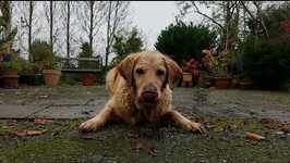 Thirsty Golden Retriever Just Loves This Garden Hose