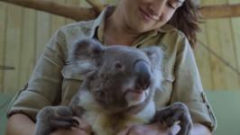 Koala Chills Comfortably in Lap of Keeper
