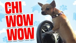 Funny and Feisty Chihuahuas - Funny Dogs Compilation