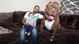 Meet Hulk - The Giant 175lb Family Pit Bull