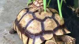 Massive Tortoise Gives Piggy Back Ride to Its Mini-Me