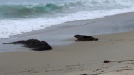 Sea Lions Share Kiss Before Returning to Ocean in California