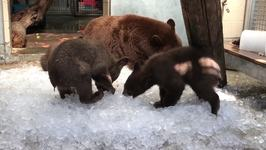 Quarantined Bears Get Icy Respite from Heat at Oakland Zoo
