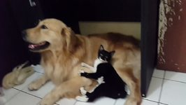 Cute Cat Pesters Dog for Attention