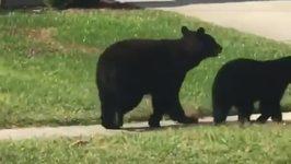 Family of Bears Take a Stroll Down Street in Suburban Florida Neighborhood