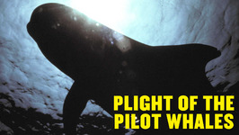 Plight of the Pilot Whales