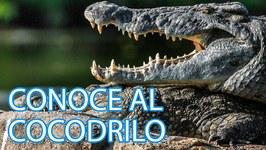Cómo viven los cocodrilos  Vídeos de animales para niños