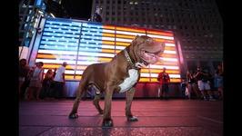 Hulk The Pit Bull Takes Over New York