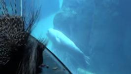 Oregon Zoo Keepers Take Porcupine on Walk to Meet Seals