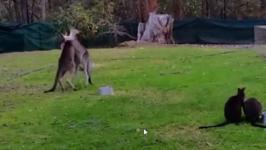 Three Kangaroos Brawl at Wildlife Shelter