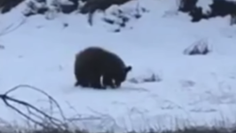 Bear Spotted Foraging for Food Along Missoula Highway