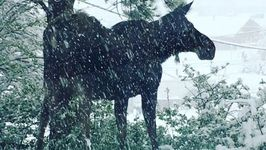 Moose Enjoys Fresh Snow in Nederland