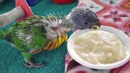 Baby Lorikeet Really Loves Her Food