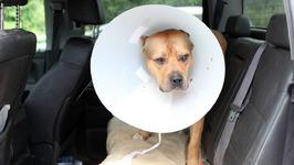 Super Pit Bull Ace Undergoes Surgery