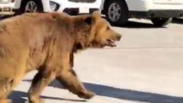 Bear Wanders into Basra City in Iraq