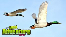 Ducks for Kids - All about Ducks - Fun Videos for Kids
