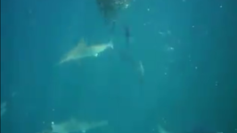 Sharks and Seagulls Feast on Bait Ball in Ocean Feeding Frenzy