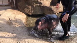 Cincinnati Zoo Visitors May Get Surprise Peeks at Baby Hippo
