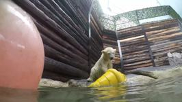 Polar Bear Cub Ventures into Deeper Waters at Sea World Gold Coast