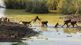Funny Bouncing Baboons Make River Crossing