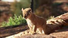 Four Lion Cubs Explore Sanctuary For the First Time