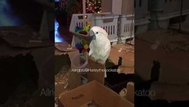 Harley the Cockatoo Sings Her New 'Cup Song'