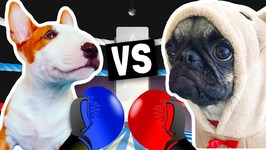 PUPPY BOXING MATCH